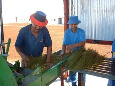 Processing Green Rooibos tea bales