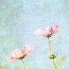 Fine Art Photography - pastel pink baby blue flower photograph nursery room decor wall art print 8x8 - Cosmos
