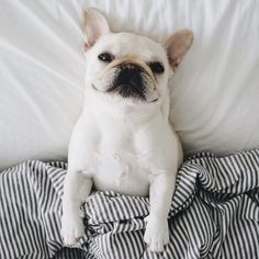 """No Dad, you go on to work without me, I'm fine, really"", Polly, the Pampered French Bulldog, @piggyandpolly on instagram."