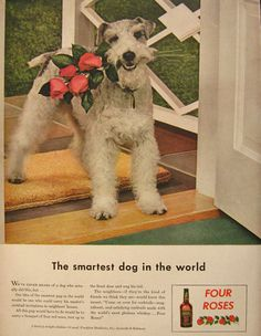 1943 Four Roses Whiskey Ad ~ Wire Fox Terrier
