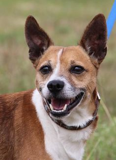 Roger is a Terrier Mix up for adoption in Helotes, TX! He needs a new forever home!