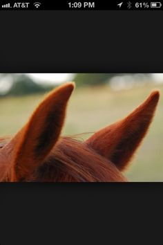 Red chestnut horse ears Horse Ears, Chestnut Horse, Horses, Muscles, Red, Horse, Muscle