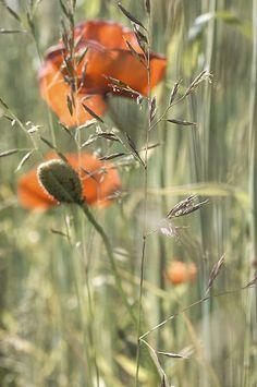 Poppy flower by ivettya
