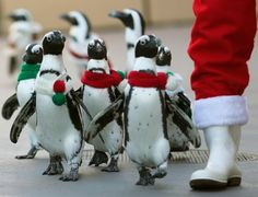 Penguins clad in Christmas-themed outfits walk next to staff dressed as Santa Claus at Hakkeijima Sea Paradise in Yokohama, south of Tokyo