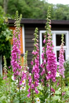 self-sowing  - Foxgloves (Digitalis var.) - easy to manage & grow a season ahead of time. After they finish flowering, let the seeds grow on those lanky stalks, & spread them to grow new plants - what pops up throughout the summer (to be moved around later in fall) are from last year's seeds & those plants that grow this year will bloom next year (they're bi-ennials). Pick off seed stems when ready, & shake the stalks around to move foxglove through a garden.