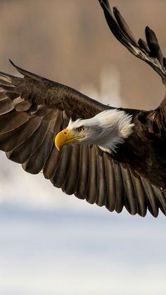 eagle, bird, wings, flap