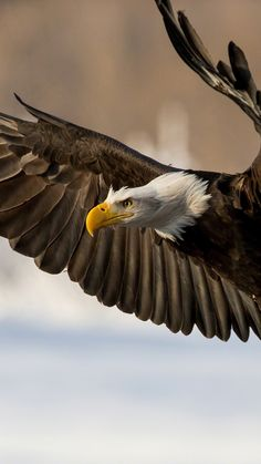 eagle, bird, wings, flap
