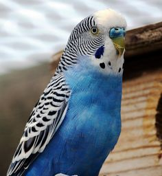 Looking for blue parakeet to go with Nanny's name