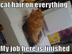 Cat Hair- one of the many reasons I WILL NOT allow them in my house. little brats lol