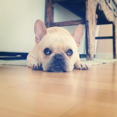 How could you say no to that face? French Bulldog❤️