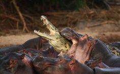 Crocodile attacks shark | Crocodiles and alligators. Amazing photos.