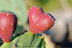 Wow!  Prickly Pear fruit.  http://www.pinterest.com/nanatang; http://www.tariqweb.com/wp-content/uploads/2011/09/awesome-hearts-in-nature-21.jpg