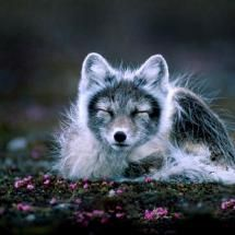 Arctic fox in mid summer.  The incessant wind is a big influence to structure and activity.