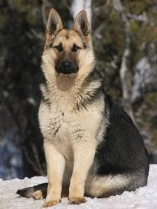 The German Shepherd Dog is number two on my top favorite dog breeds, they have all the qualities I admire and want in a dog.