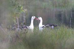 White-winged Duck pair, Indonesia, Sumatra