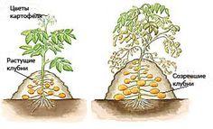 Посадка картофеля - стадии развития клубней