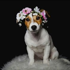 Jack Russell Terrier - A Dog in One Pack - Champion Dogs Bull Terrier Dog, Rat Terriers, Dog Hacks, White Terrier, Jack Russell Terrier, Family Dogs, Happy Dogs, Large Dogs, Dog Life