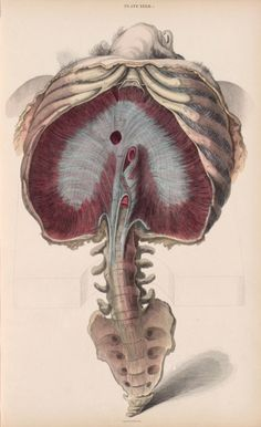 John and William Lizars - Thorax, spine and sacrum, from ''A System of anatomical plates'', ca.1825