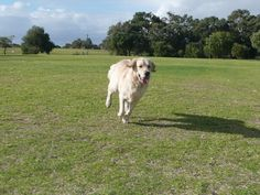 Our beautiful dog running with her ears flapping in the wind     I love Golden retrievers