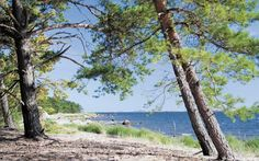 The pine forest on Sandhamn, nr Stockholm