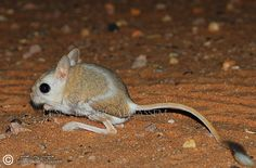 Euphrates Jerboa | euphrates jerboa Rodents, Kangaroo, Cute, Animals, Mini Mouse, Baby Bjorn, Animales, Animaux, Kawaii
