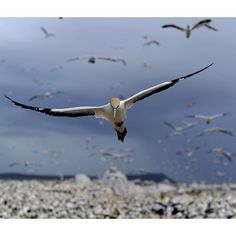 Photograph by @thomaspeschak A Cape Gannet comes in to land on South Africa's Malgas Island. Despite the strictest protection measures for this nesting colony gannet numbers have declined over the past decade. A lack of sardines and anchovies the birds preferred prey due to oceanographic changes and overfishing are to blame. Unpublished photograph from my Dec 2014 @natgeo story Cross Currents. @thephotosociety @natgeocreative For more photographs of seabirds and remote islands please follow…