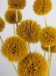 Giant Yellow Preserved Thistles  (10 Thistles) Aspen Yellow Thistles