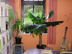 How to grow indoor banana plants --Banana plants thrive in tropical regions, but you can grow banana plants indoors even if you do not live in a warm area. With their large leaves and white flowers, the trees make attractive houseplants and add a touch of the tropics to your decor.