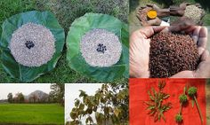 Validated, Promising and Potential Medicinal Rice Formulations for High Blood Pressure (हायपरटेंशन) with Diabetes mellitus Type 2 (मधुमेह) Complications (TH Group-405) from Pankaj Oudhia's Medicinal Plant Database