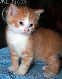 Kay's Kittens Peanut