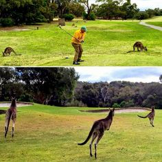 Into #golf? This would be pretty #special we reckon Get picked up from your #Melbourne #Accommodation a #seaside #coffee at the #GreatOceanRoad then #nineholes of golf with #wild #kangaroos followed by a Great Ocean Road #gourmet #beach #picnic & #winetasting!  Find #KangarooGolf on #OzTourGuide. #visitmelbourne #visitvictoria #victoria #vic #thisisaustralia #australia #aus #oz #otg #otginsider #cityofmelbourne #discovermelbourne #discovervictoria #seemelbourne by oztourguide