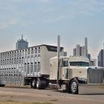 Owner-operator Phil Miller discusses the finer points of the centerpiece to his cattle hauling operation: His 2015 Peterbilt 389 and matching Wilson livestock trailer.