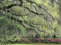 Live Oak Tree Draped with Spanish Moss, Savannah, Georgia, USA Lámina fotográfica