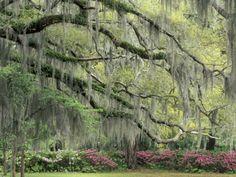 Live Oak Tree Draped with Spanish Moss, Savannah, Georgia, USA Lámina fotográfica