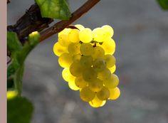 Carneros Chardonnay. Napa Valley