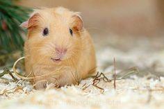 beautiful guinea pig