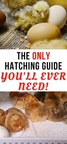 How to incubate chicken eggs and hatch chicks. Step by step guide to using your incubator properly.