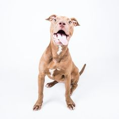 Gingerspice - URGENT - Dekalb County Animal Shelter in Decatur, Georgia - ADOPT OR FOSTER - 11 MONTH OLD Female Am. Pit Bull Mix - Gingerspice has never had a bad day. This goofy gal is all smiles all the time. She is just under a year old, gets along with other dogs, and would love to play fetch in your backyard. Her adoption includes her spay, microchip, vaccinations, and more!