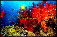 Arrecifes de coral del Mar Rojo - Paraiso bajo el desierto - (Video) http://paginasarabes.com/2011/06/23/arrecifes-de-coral-del-mar-rojo-parai%C2%ADso-bajo-el-desierto-video/