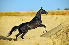 The Akhai Teke an Ancient Breed from Central Asia north of Iran