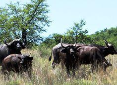 Buffalo flourish in the bushveld habitat of the Vredefort Dome.Photo: Jan Fourie