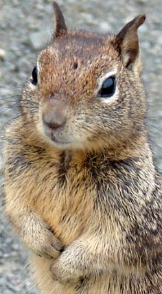 Great closeup of a ground squirrel
