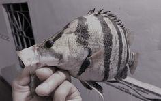 Kiểm soát bệnh AGD trên cá biển | Mạng Thủy sản Việt Nam