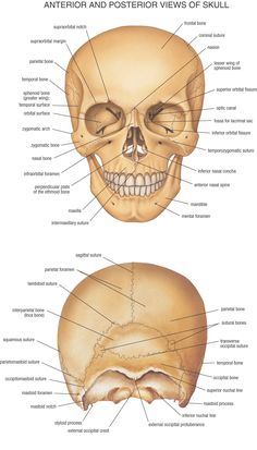 HB Anatomy Skull