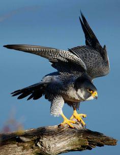 Peregrine falcon (Falco peregrinus), Sokół wędrowny