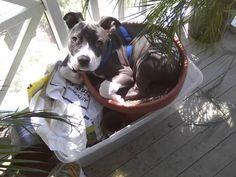 Pit bull in the flower pot