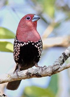 Pink-throated twinspot - an estrildid finch found in Mozambique, South Africa and Swaziland. Most Beautiful Birds, Pretty Birds, Love Birds, Birds 2, Exotic Birds, Colorful Birds, Beautiful Creatures, Animals Beautiful, Bird Pictures