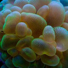 Neon Green Bubble Coral www.tidalgardens.com/coral.html