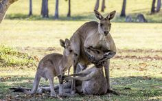 Evan Switzer photographed the a moment grieving kangaroo cradles the head of a dead female kangaroo next to her joey. Evan took the photo while walking in the bush near River Heads, a coastal town close to Fraser Island in Queensland.
