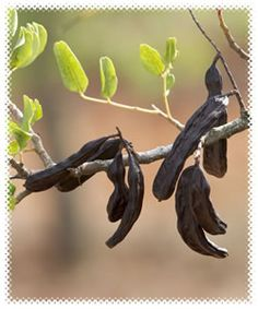 Carob is a legume. Learn more about MS Diet at MSDietForWomen.com